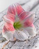 Hippeastrum 'Rosy Star'