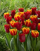 Tulipa 'Crisby Artair' 'Valery Gergiev'