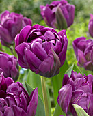 Tulipa 'Negrita Double'