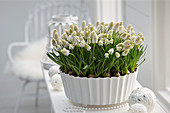 Muscari aucheri 'White Magic'®