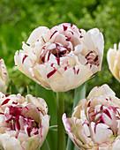 Tulipa 'Jonquieres'