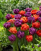Tulipa 'Dutch Monarch' 'Color Burst'