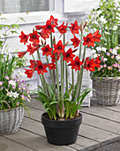 Hippeastrum 'Red Rascal'®