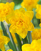 Narcissus 'Double Power'