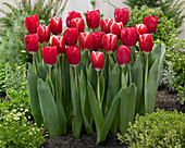 Tulipa 'Kung-Fu'