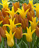 Tulipa 'Request' 'Seattle'