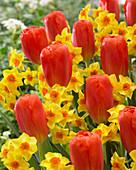 Narcissus 'Falconet', Tulipa 'Orange Ninja'