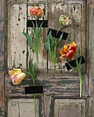 Tulpen - Blüten an Türe