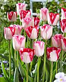 Tulipa 'Infiniti''Just Kissed'