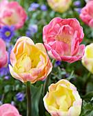 Tulipa 'Upstar' 'Creme Upstar'
