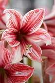 Hippeastrum 'Pyjama Party'