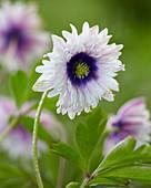 Anemone nemorosa 'Blue Eyes'