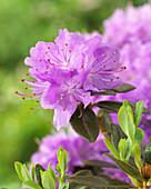 Rhododendron 'Blumeria'