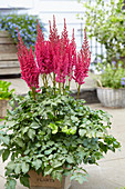 Astilbe chinensis Partiezz 'Karaoke-Party'