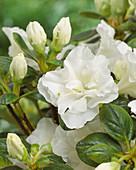 Rhododendron 'Schneeperle'®
