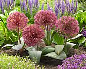Allium nevskianum