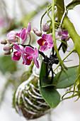 Phalaenopsis Kokedama Ball