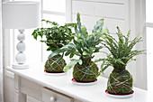 Kokedama-Pflanzen