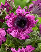 Petunia grandiflora 'Superbissima'
