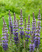 Salvia nemorosa 'Sensation Deep Blue'