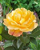 Rosa 'Shining Beauty'