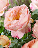 Rosa 'Boule d 'Abricot'®