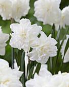 Narcissus 'Calgary'