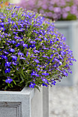 Lobelia erinus 'Hot Springs' dunkelblau