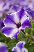 Petunia 'Viva® Blue Stardust'