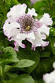 Petunia grandiflora 'Superbissima Alba'