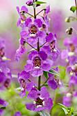 Angelonia angustifolia 'Serena Purple'