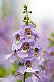 Angelonia angustifolia 'Serena Exp. Sky Blue AB636'