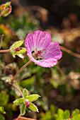 Geranium 'Jolly Jewel Hot Pink' ®
