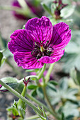 Geranium 'Jolly Jewel Purple' ®