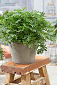 Pelargonium graveolens