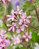 Geranium 'Japfu'