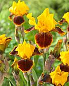 Iris germanica 'Whoop Em Up'