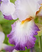 Iris germanica 'Konjugation'