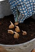 Iris - Zwiebeln in Topf pflanzen