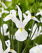 Iris hollandica 'Alaska'
