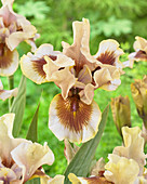 Iris germanica 'Zing Me'