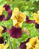 Iris germanica 'Blatant'