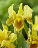 Iris Pumila 'Pogo'
