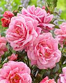Rosa 'Camelot' ®