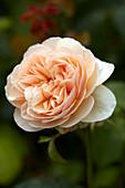 Rosa 'Sweet Juliet'
