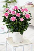 Rosa Palace ® 'Rebekka'