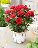 Rosa PatioHit ® 'Isabel'