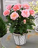 Rosa PatioHit ® 'Lux'