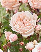 Rosa 'New Dreams'