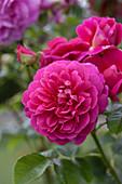 Rosa 'Princess Anne'